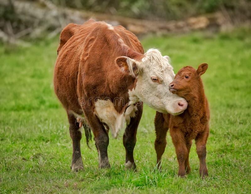 Mucca e vitello di mamma fotografia stock