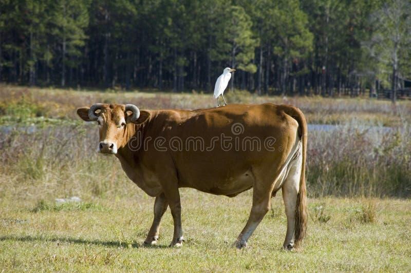 Mucca ed amico immagine stock