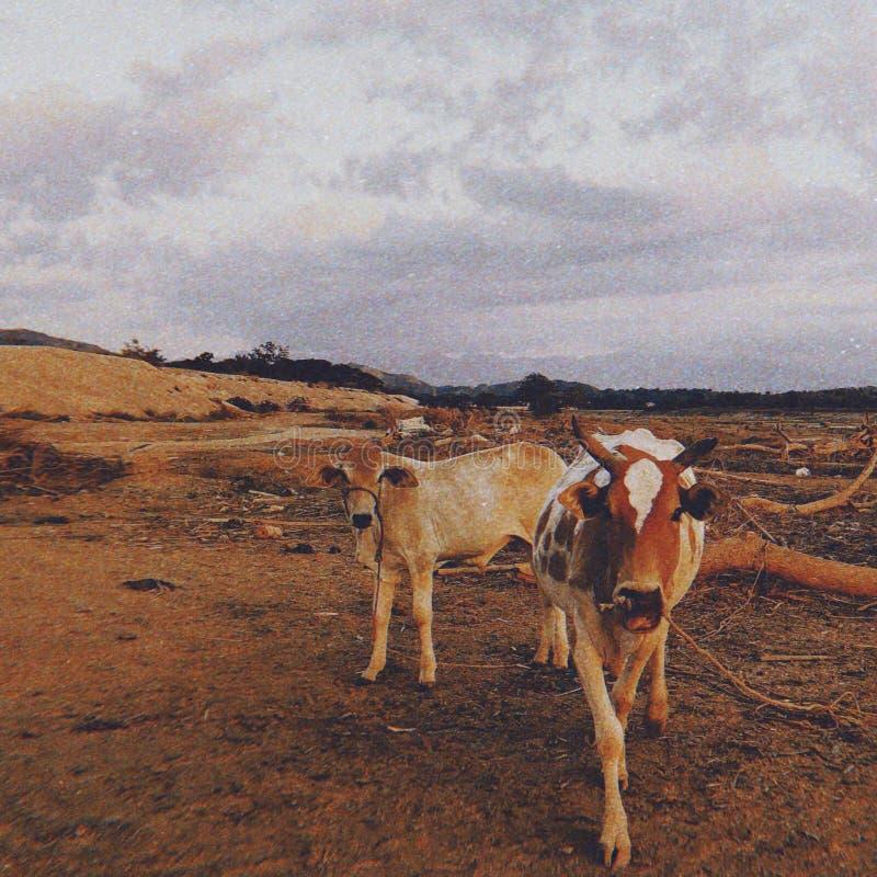 mucca fotografie stock libere da diritti