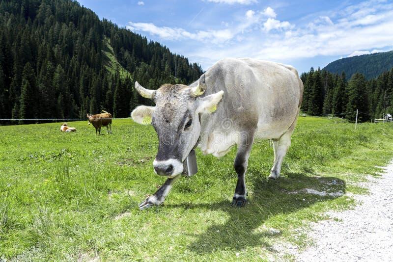 Mucca grigia alpina Paesaggio di estate, dolomia italiane della montagna Alpi, dolomia, Trentino Alto Adige, Val Venegia fotografia stock