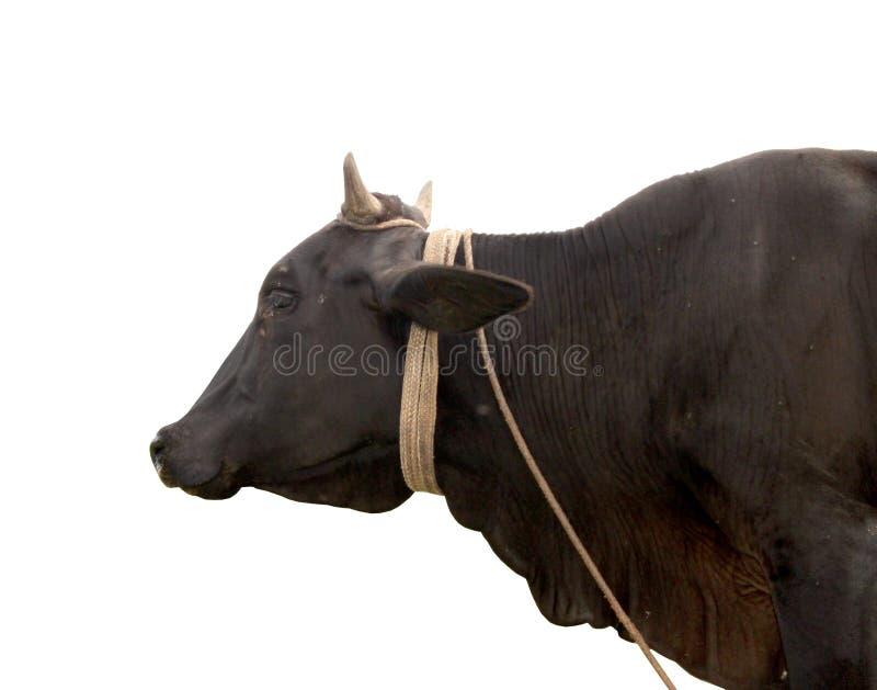 Mucca isolata immagini stock libere da diritti