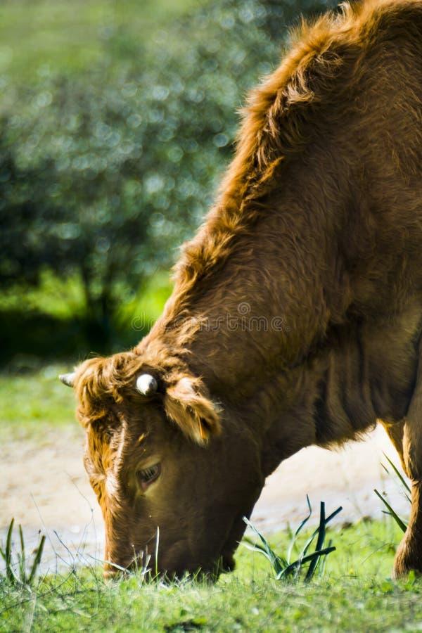 Mucca isolata libera e selvaggia che mangia in un campo fotografia stock libera da diritti
