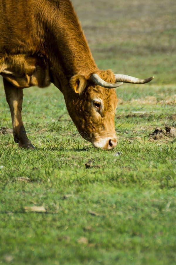 Mucca isolata libera e selvaggia in un campo immagine stock