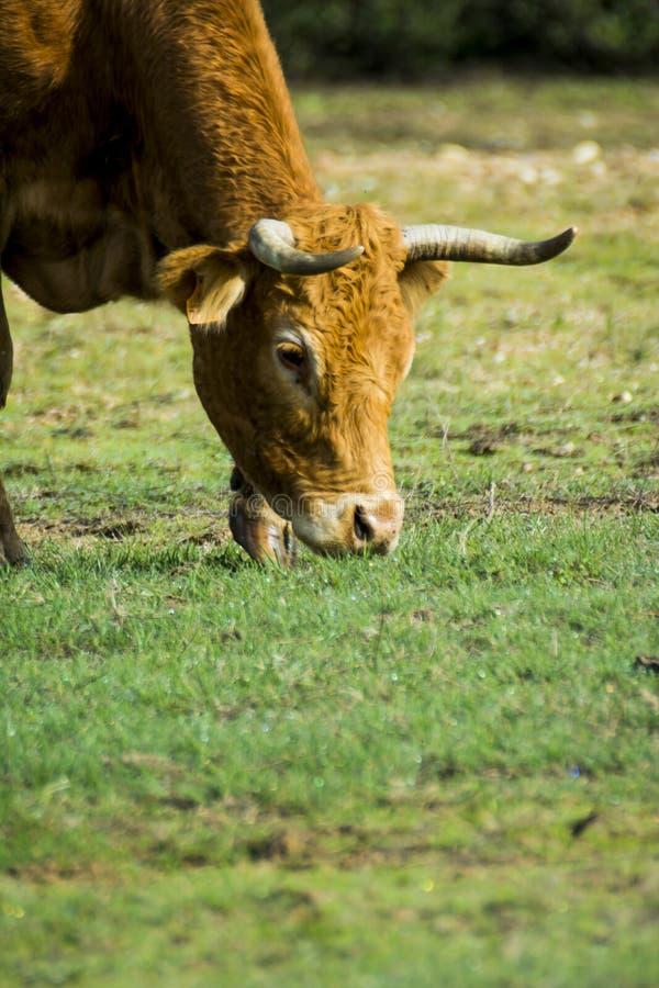 Mucca isolata libera e selvaggia in un campo fotografie stock libere da diritti
