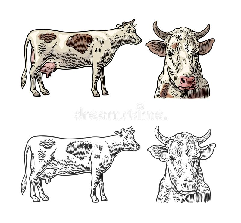 mucca Lato e Front View Disegnato a mano in uno stile grafico Illustrazione d'annata dell'incisione di vettore per il grafico di  illustrazione vettoriale