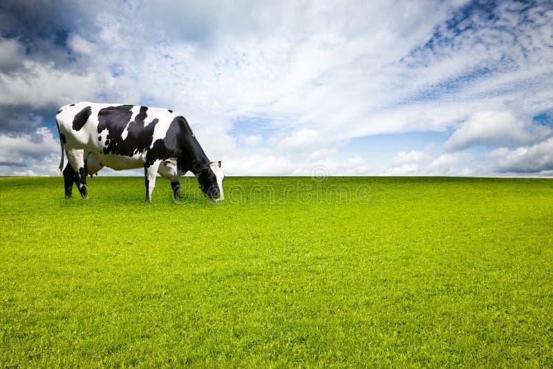 Mucca macchiata in prato immagini stock libere da diritti