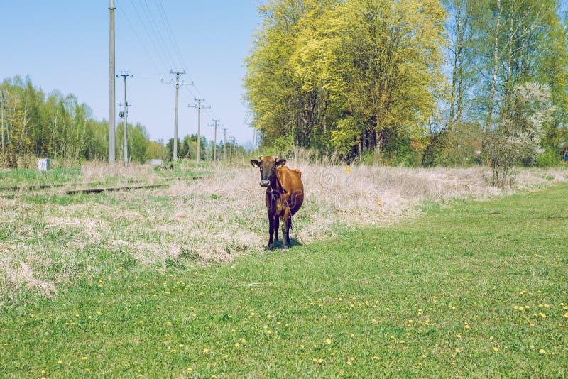 mucca marrone Molla soleggiata in prato lettone con la mucca fotografia stock libera da diritti