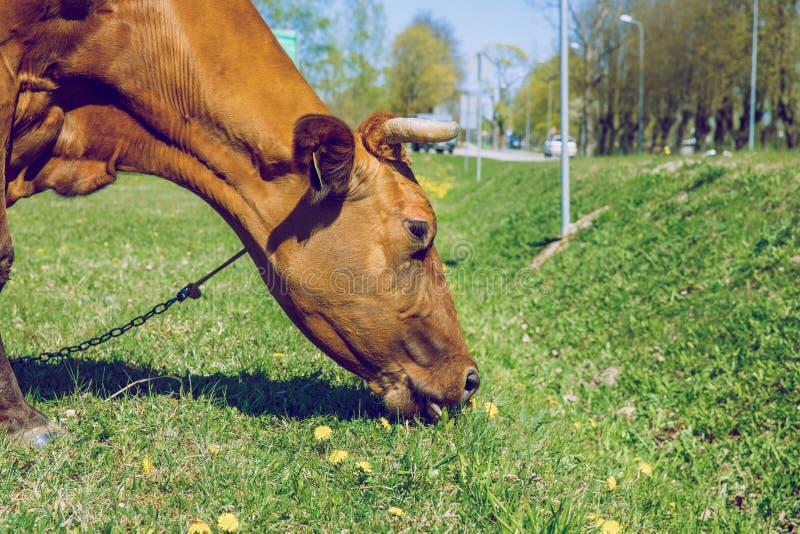 mucca marrone Molla soleggiata in prato lettone con la mucca fotografia stock