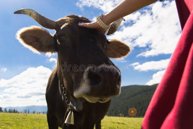 Mucca in montagne al giorno immagine stock