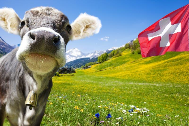 Mucca nei ntains svizzeri delle montagne fotografie stock libere da diritti