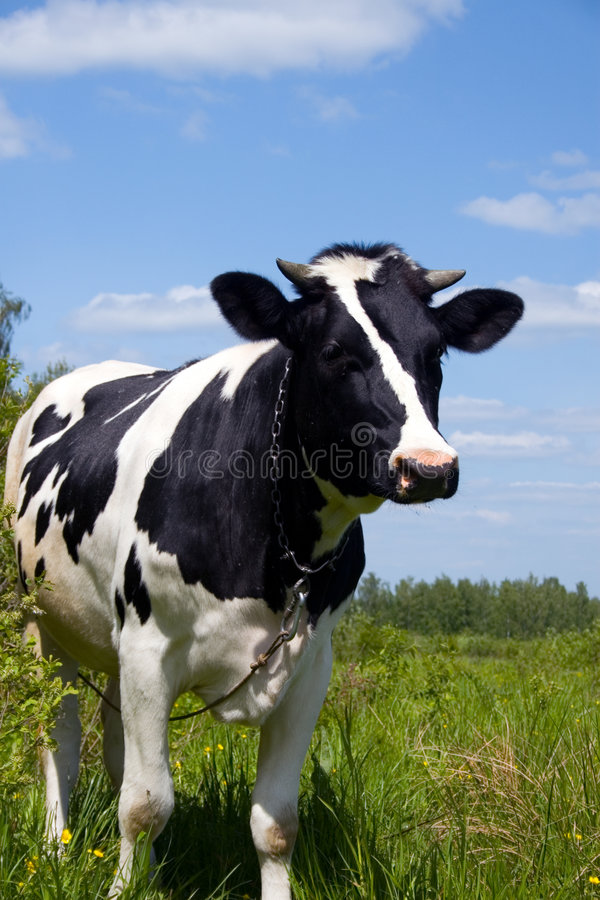 Download Mucca nel campo fotografia stock. Immagine di fresco, punti - 7308344