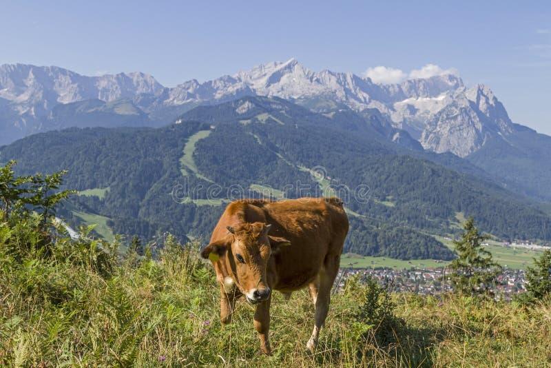 Mucca nel paese di Werdenfels immagini stock