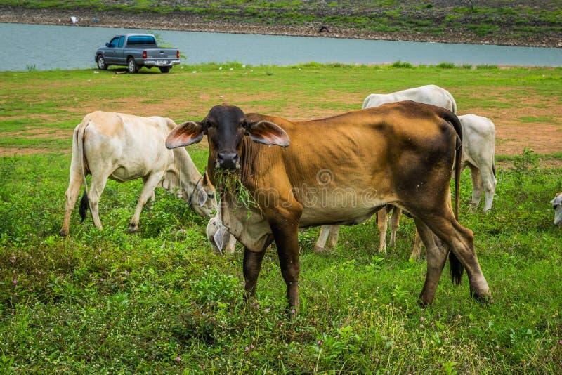 Mucca nel prato fotografia stock