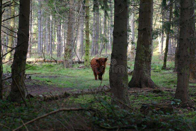 Mucca nella foresta fotografie stock libere da diritti