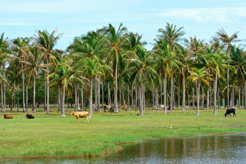 Mucca nella piantagione dell'albero del cocco immagini stock libere da diritti