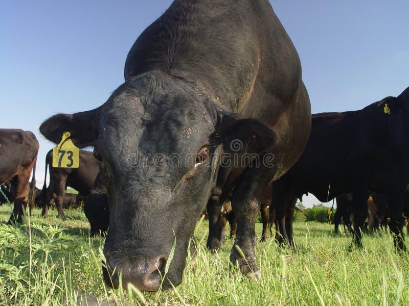 Mucca nera che mangia erba un giorno pieno di sole immagine stock