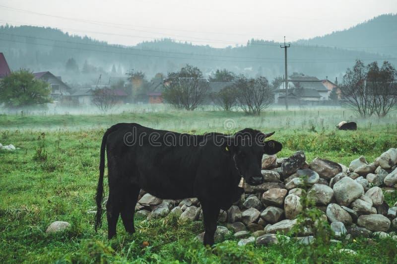 Mucca nera con una campana intorno al collo che pasce sul prato in montagne nel tempo di autunno, nebbia Bestiame su un pascolo immagine stock libera da diritti