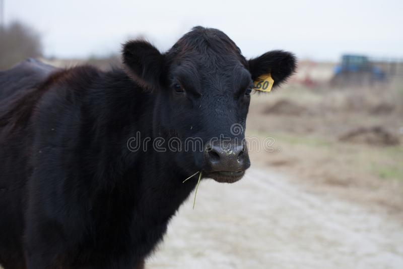 Mucca nera di Angus su un'azienda agricola di bestiame immagini stock