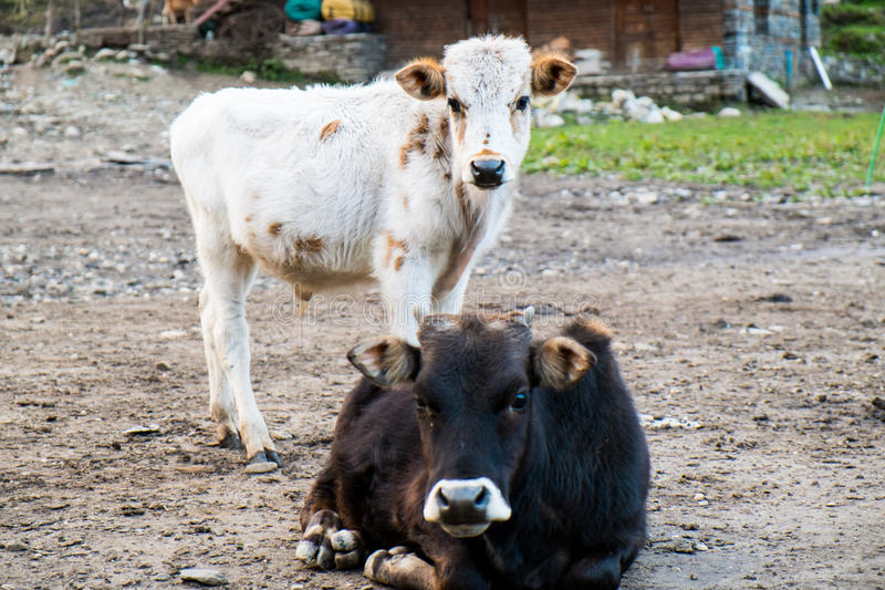 Mucca nera e vitello bianco isolati sul fondo del fango fotografia stock libera da diritti