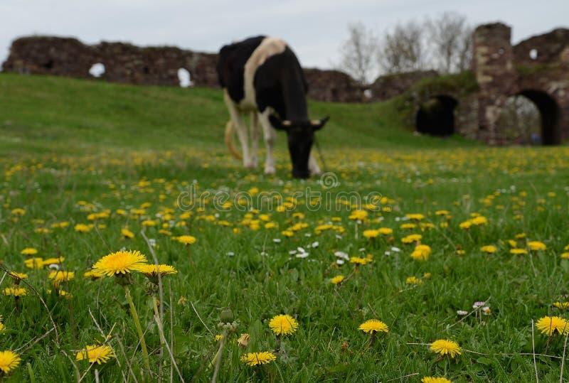 Mucca nera sul campo verde con il grande albero Paesaggio rurale fotografie stock libere da diritti