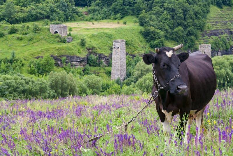 Mucca nera in un prato dei fiori porpora sui precedenti dei pendii di pietra verdi immagini stock