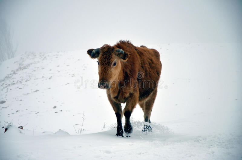 Mucca in neve fotografia stock