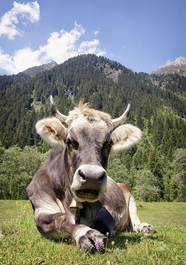 Mucca piacevole immagini stock
