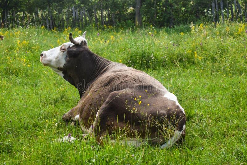 Mucca in positin di riposo nel prato del greem Foto di riserva disegnata con paesaggio rurale in Romania immagini stock libere da diritti