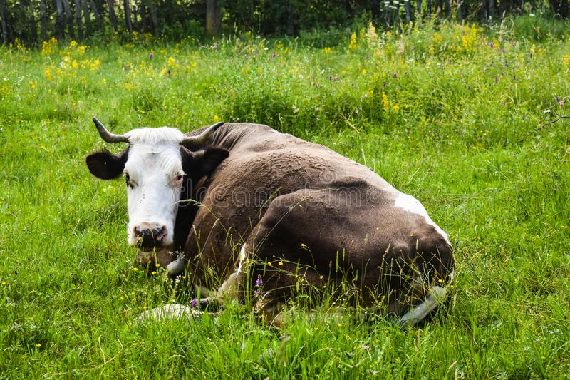 Mucca in positin di riposo nel prato del greem Foto di riserva disegnata con paesaggio rurale in Romania fotografia stock