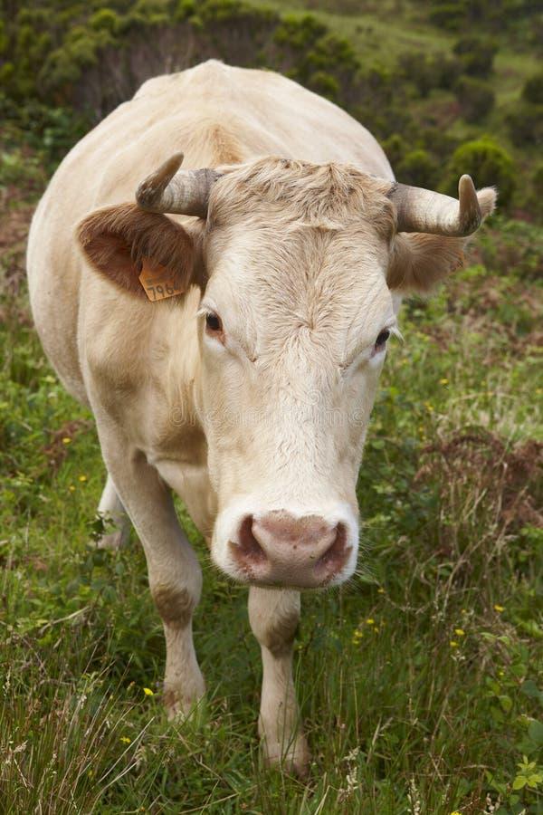 Mucca registrata sulla campagna nell'isola del Flores Le Azzorre, porto fotografia stock