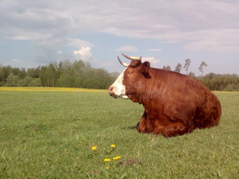 Mucca rilassata nel pascolo fotografie stock libere da diritti