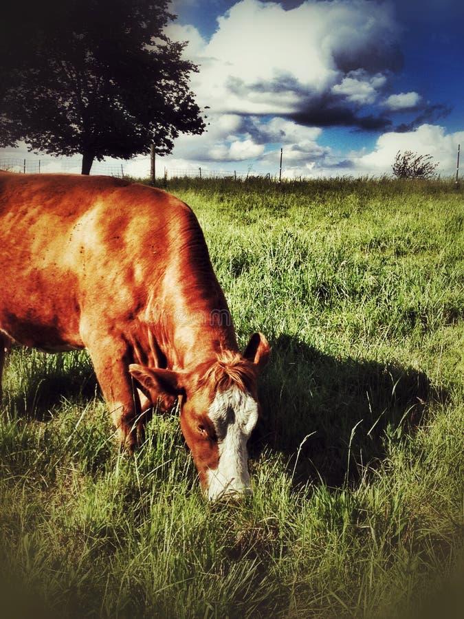 Mucca rossa che mastica erba fotografia stock