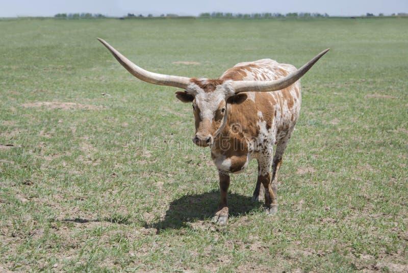Mucca rossa e bianca della mucca texana del Texas del toro del manzo con i corni lunghi in pascolo verde immagini stock libere da diritti