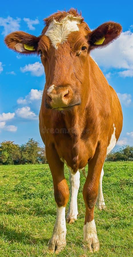 Mucca rossa e bianca estiva con i marchi auricolari nel campo verde con cielo blu fotografia stock libera da diritti