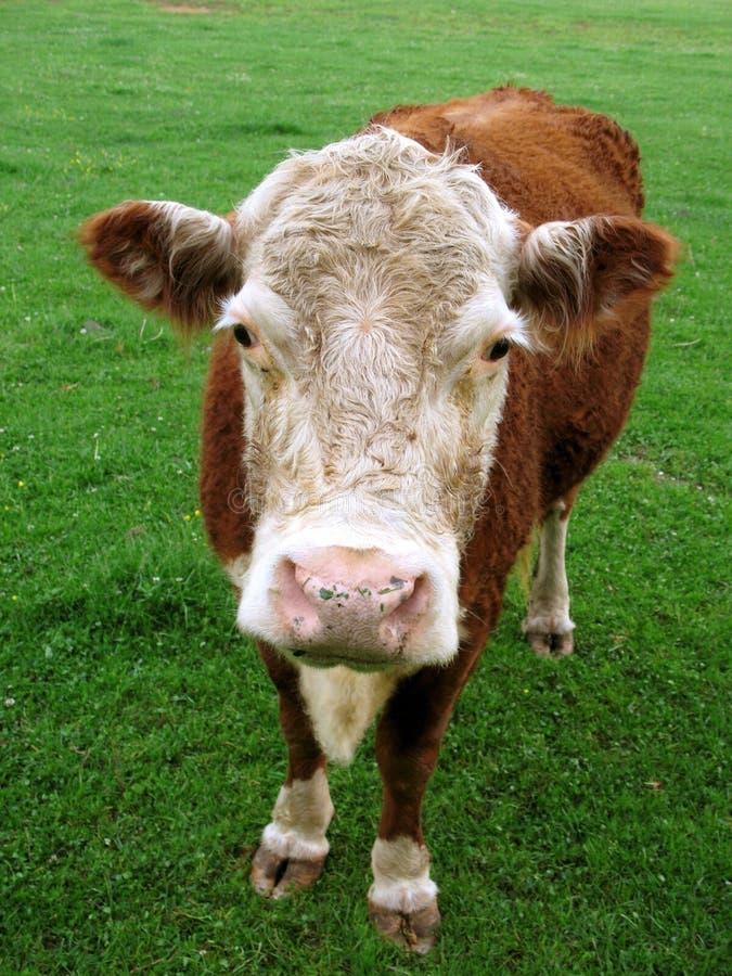 Mucca rurale dell'azienda agricola fotografie stock