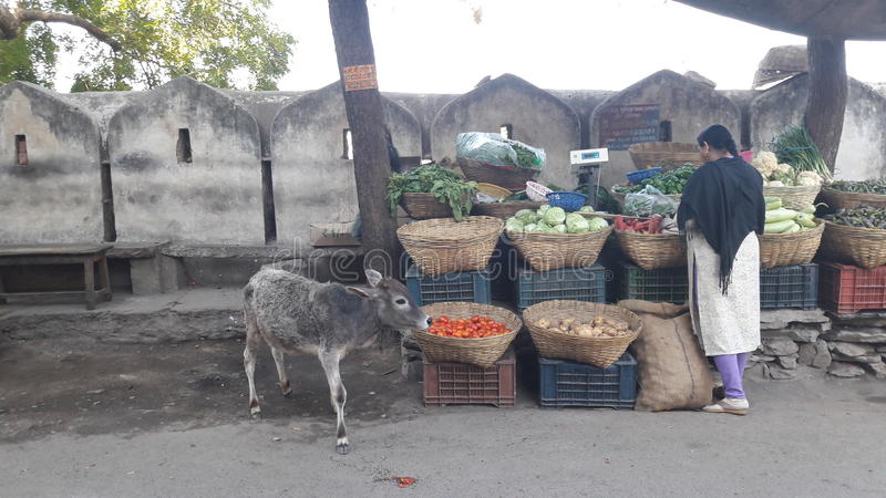 Mucca santa affamata fotografie stock libere da diritti
