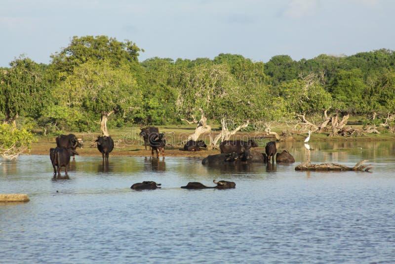 Mucca selvaggia dello Sri Lanka fotografia stock libera da diritti