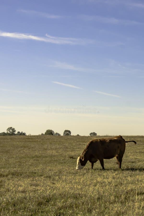 Mucca sola in pascolo con cielo blu - verticale immagini stock