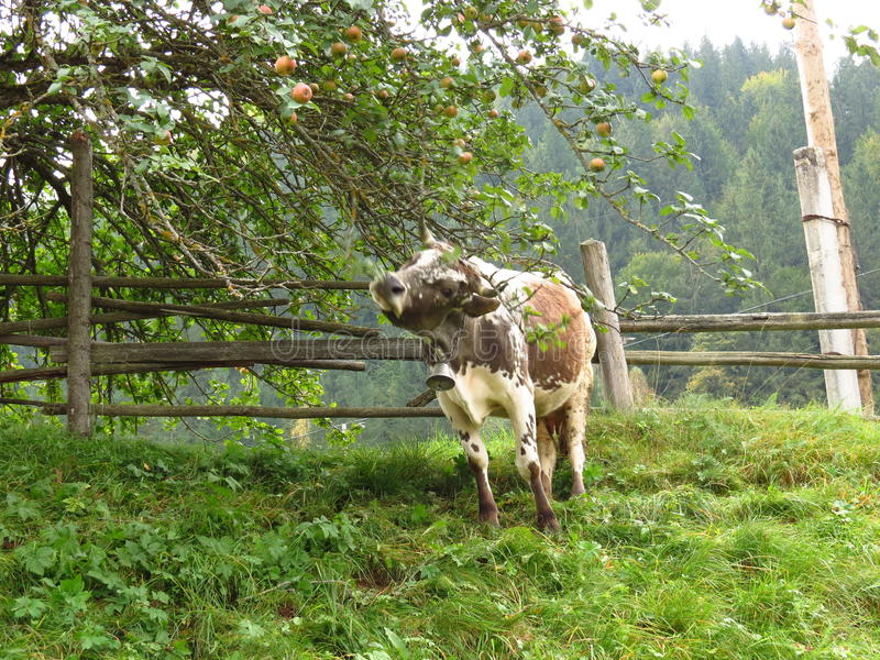 Mucca sotto un Apple-albero fotografia stock