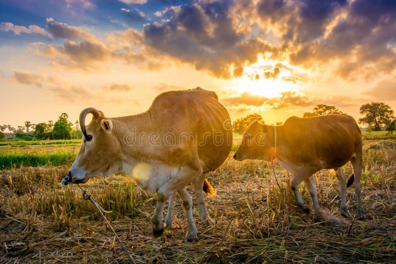 Mucca su erba verde e sul cielo di mattina con luce fotografia stock libera da diritti