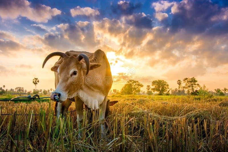 Mucca su erba verde e sul cielo di mattina con luce fotografie stock
