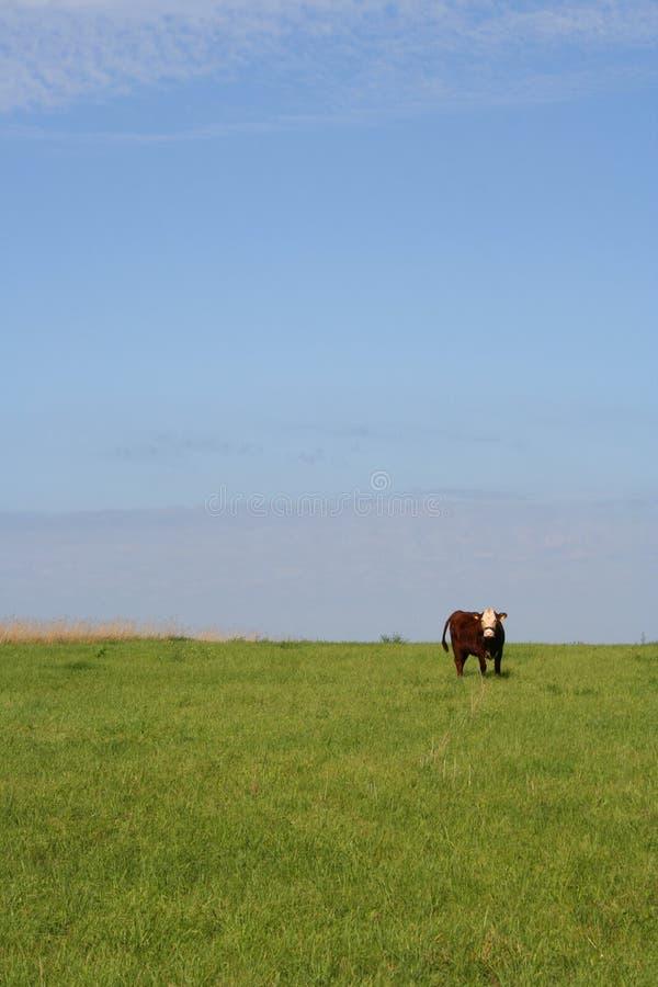 Download Mucca su un prato fotografia stock. Immagine di campo, mammifero - 207916