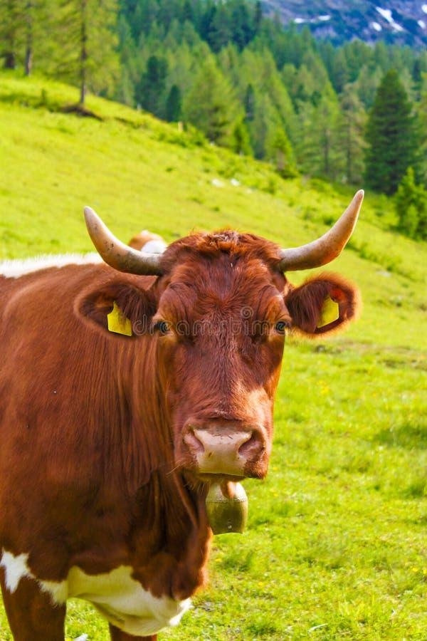 Mucca su un prato alpino fotografia stock libera da diritti