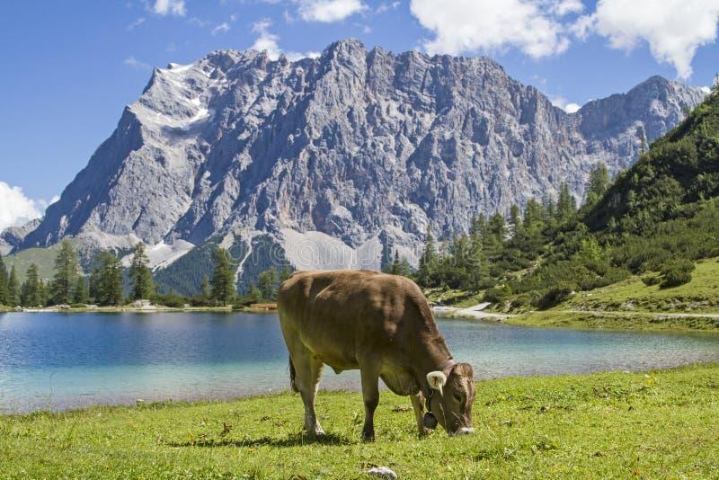 Mucca su un prato in montagne immagini stock libere da diritti