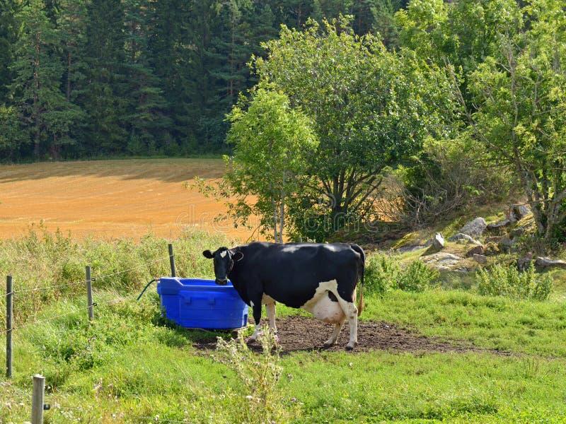 Mucca sul campo vicino ai bevitori fotografia stock libera da diritti