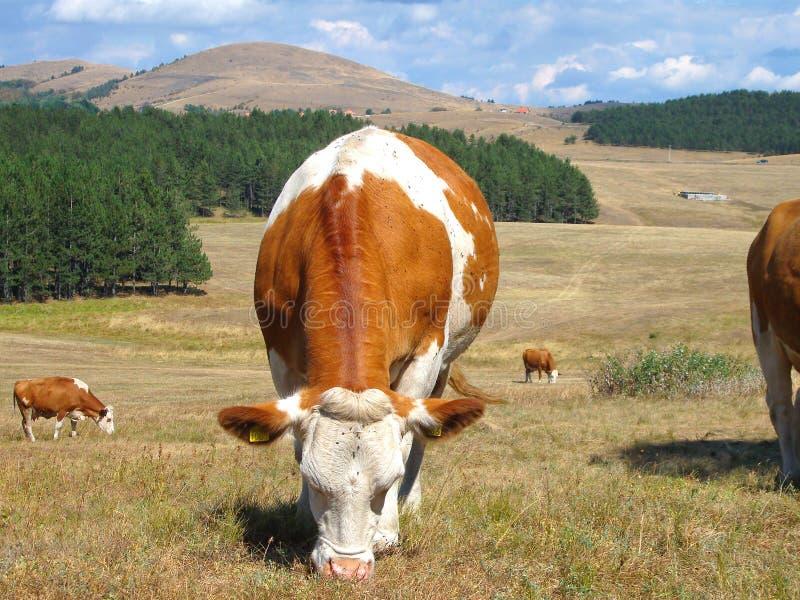 Mucca sul giacimento della montagna immagini stock libere da diritti
