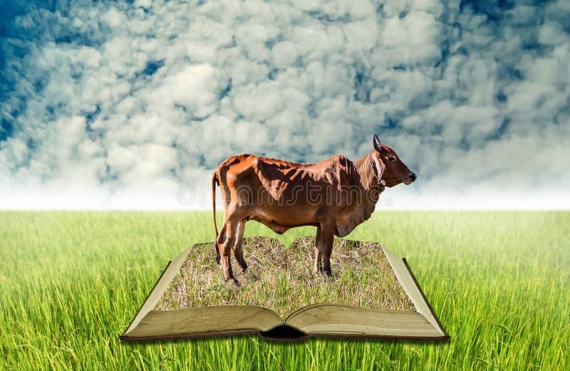 Mucca sul libro aperto al giacimento del riso, conoscenza di agricoltura fotografia stock libera da diritti