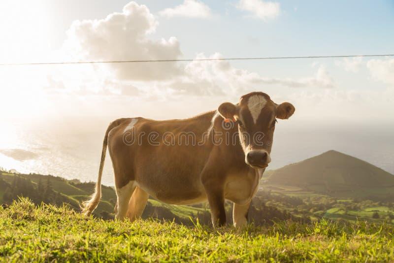 Mucca sull'erba con sole fotografia stock