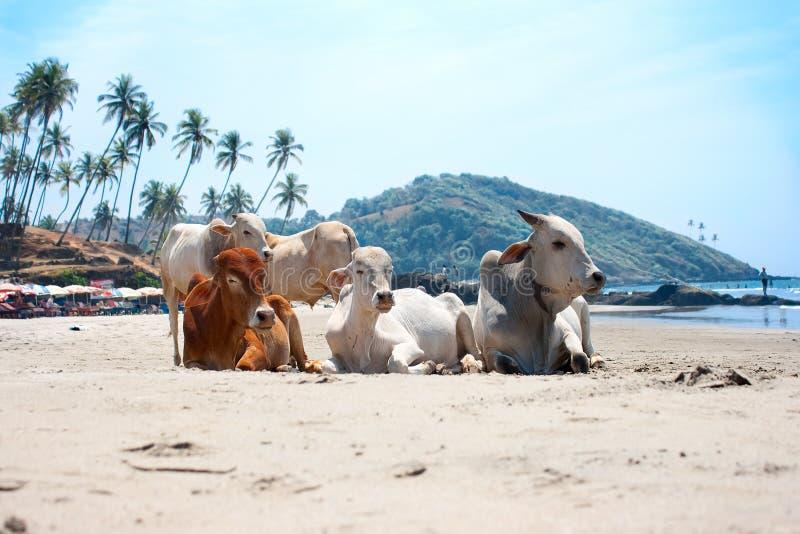 Mucca sulla spiaggia tropicale, Goa, India fotografie stock