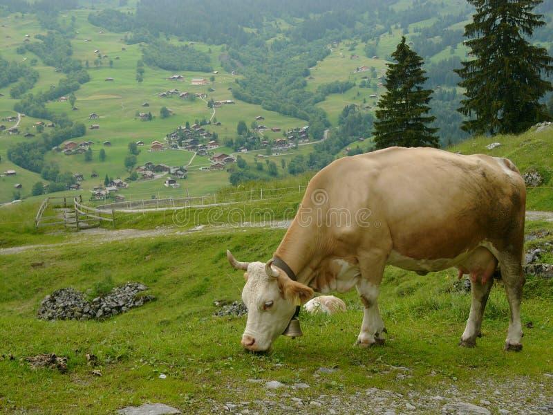 Mucca svizzera fotografie stock